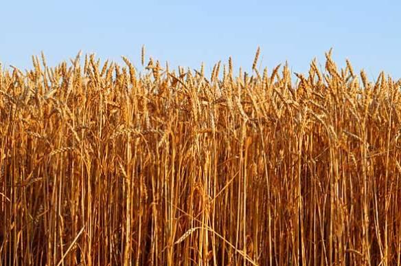 wheatfield-588x390