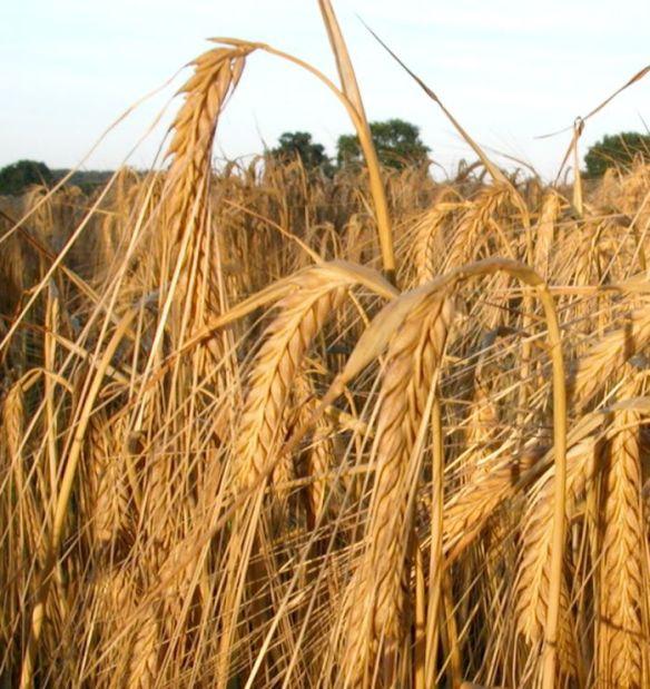 barley-ripe
